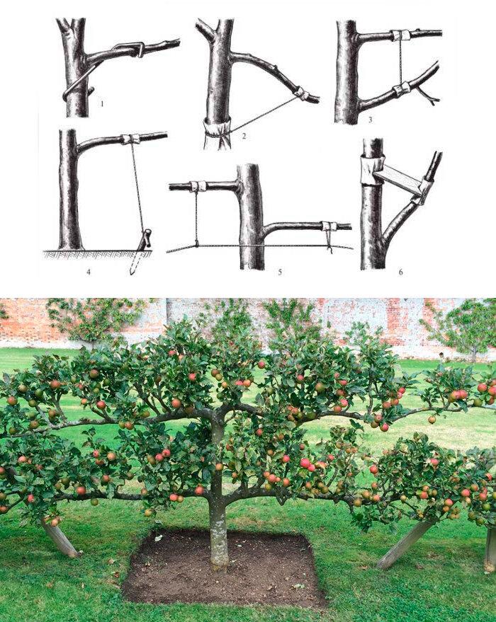 Обрезка колоновидных яблонь: правила и схема обрезки колоновидных яблонь весной