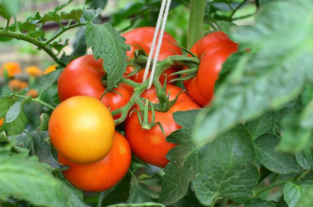 Лучшие томаты 2020 года | tomatland.ru