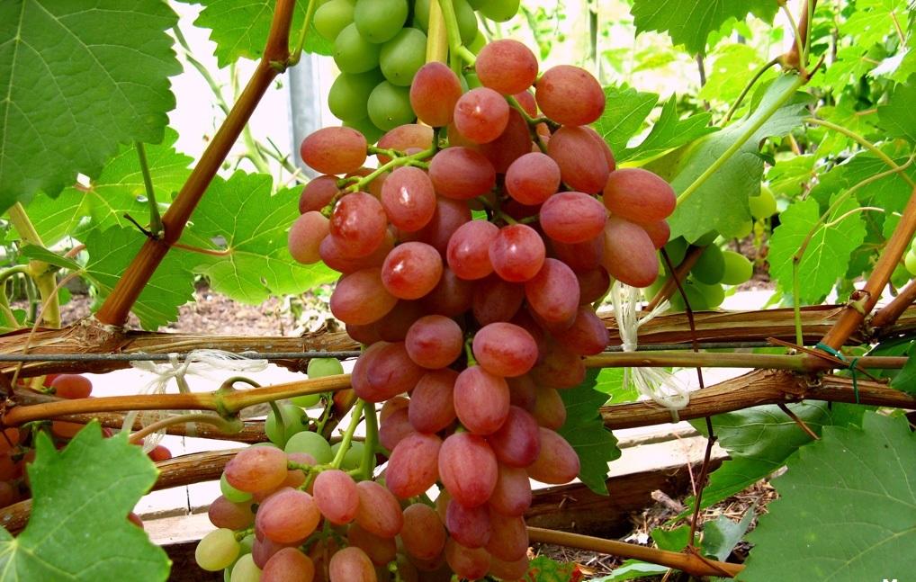 Виноград сорта сенсация — сверхраннее получение ягод на дачном участке
