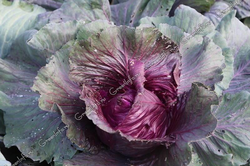 Краснокочанная капуста: выращивание и уход в открытом грунте, сорта + фото