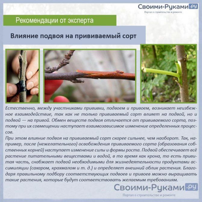 Прививка персика весной и летом для начинающих: способы и сроки