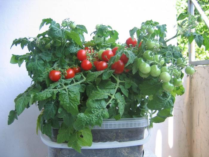 Правила ухода и выращивания многолетних помидоров на подоконнике и в открытом грунте