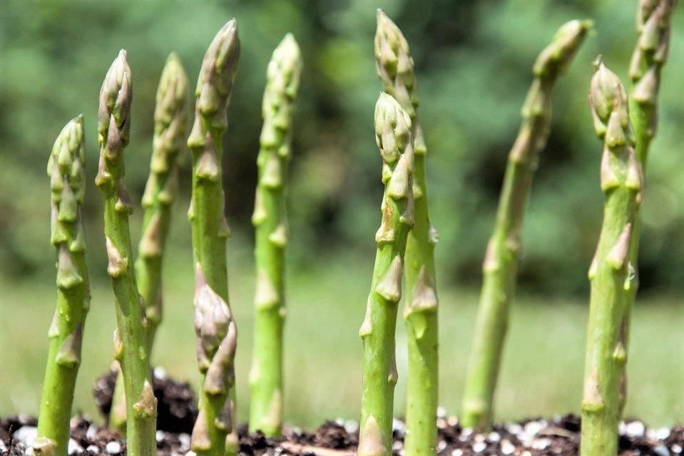Спаржа – выращивание в открытом грунте из семян
