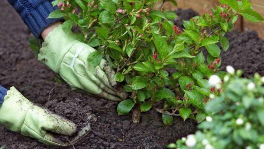 Как вырастить кизильник у себя на даче