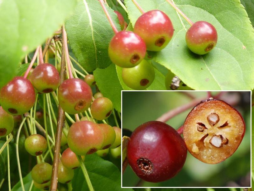 Яблоня маньчжурская: особенности сорта и ухода
