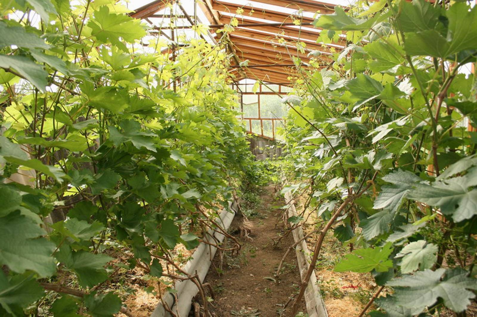 На каком расстоянии сажать виноград друг от друга: как правильно посадить виноград? пошаговая инструкция для начинающих (125 фото)