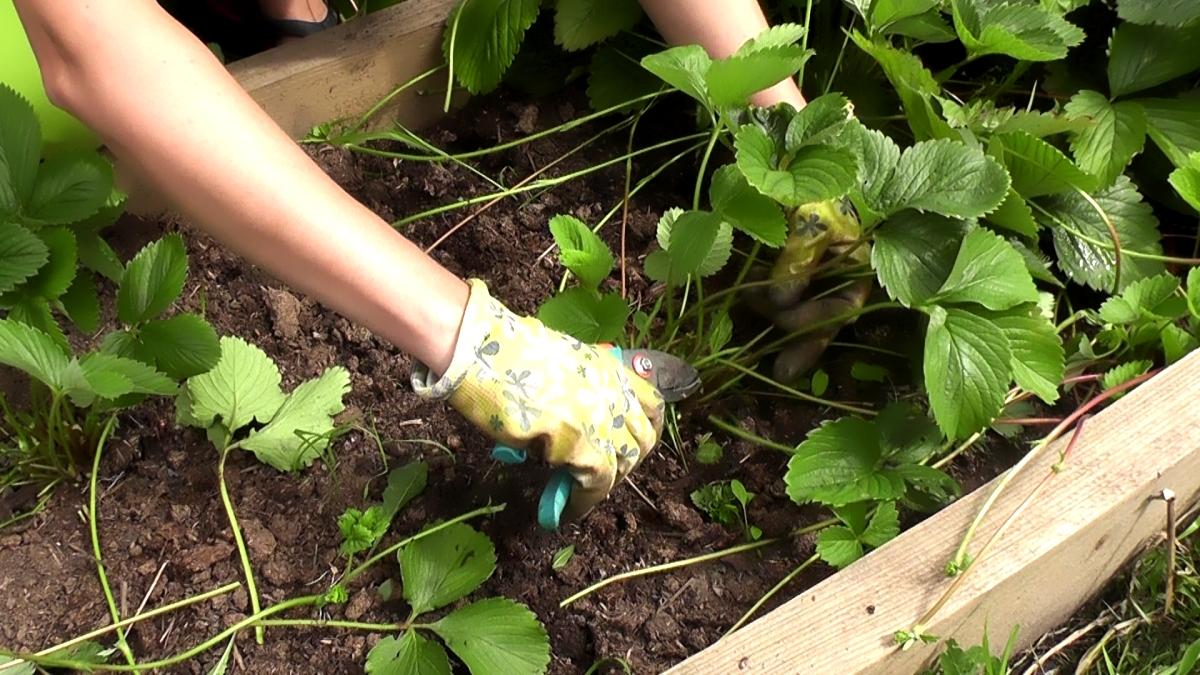 Обработка клубники после сбора урожая, обрезка, полив и удобрение