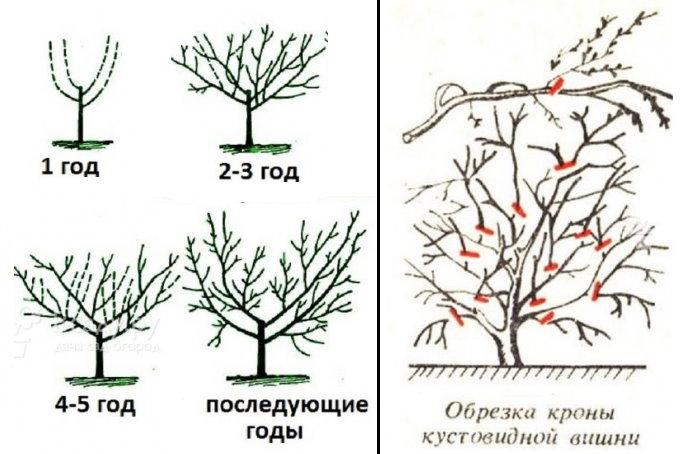 Вишня — правильная посадка, формировка и уход. полезные свойства, размножение. фото — ботаничка.ru