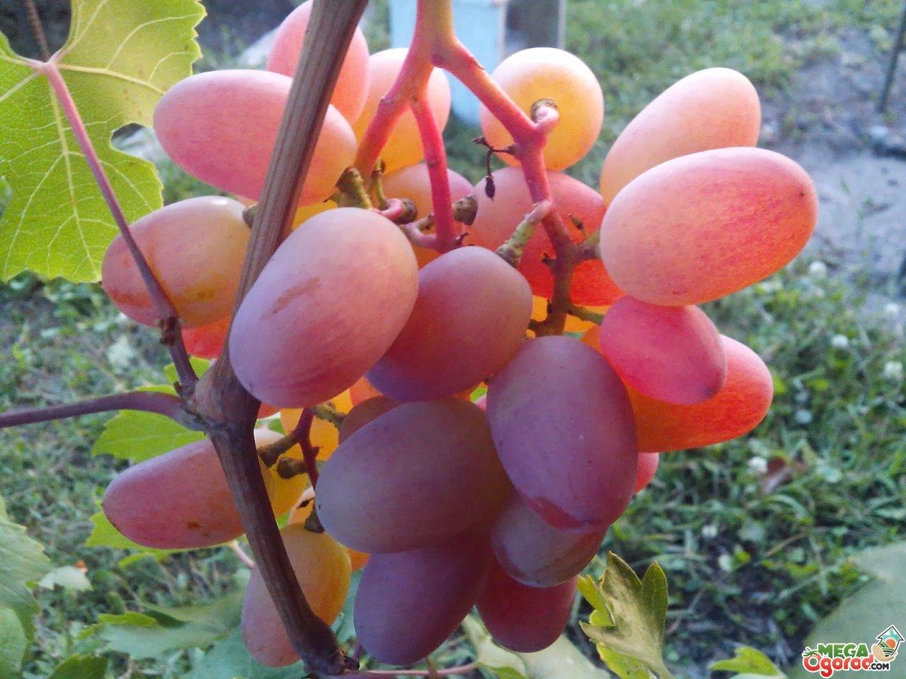 Виноград юбилей новочеркасска – хрустящее чудо