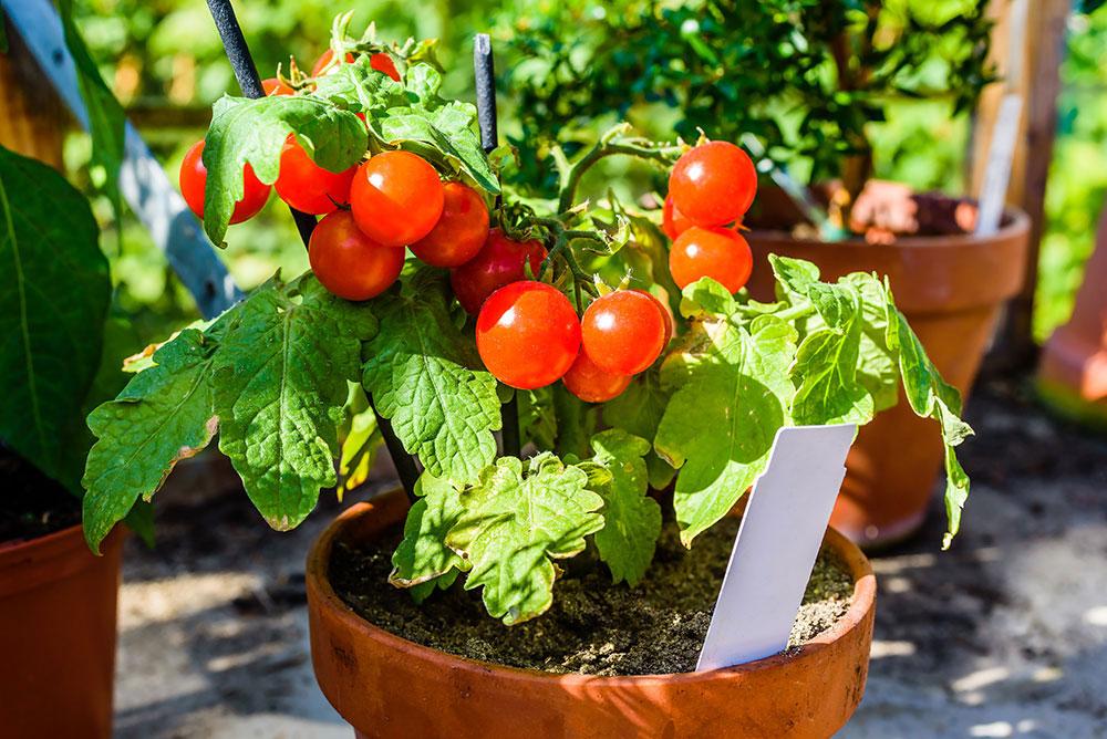 Помидоры на подоконнике – выращивание в квартире, пошагово, круглый год, уход, комнатные сорта