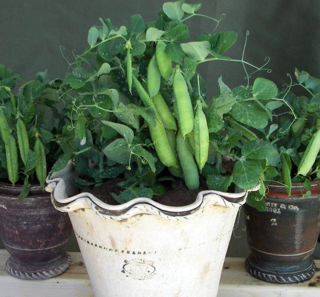 Огород на балконе для начинающих что посадить