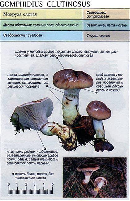 Мокруха пурпуровая (chroogomphus rutilus): фото и описание этого съедобного гриба