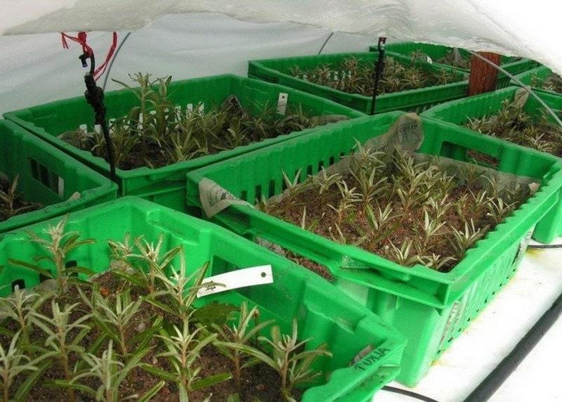 Способы вегетативного и генеративного размножения облепихи: преимущества и недостатки