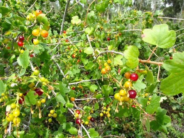 Дикая смородина (репис): описание польза, выращивание на участке