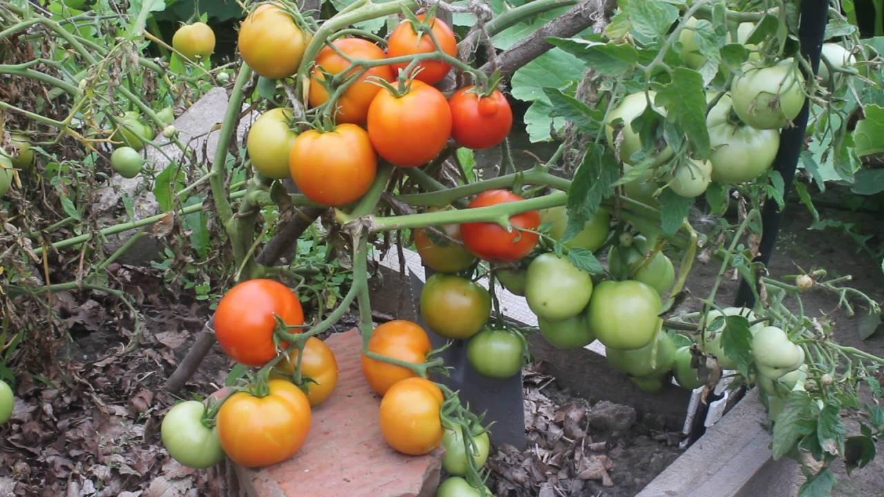 """Сорт помидор """"безрассадный"""": описание томатов, особенности ухода за почвой, полив, рассада, урожайность, характеристика плодов и подверженность вредителям русский фермер"""