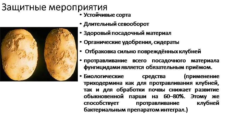 Парша на картофеле: как лечить землю, описание ризоктониоза, фото обыкновенной и порошистой, как избавиться, методы борьбы с болезнью и препараты