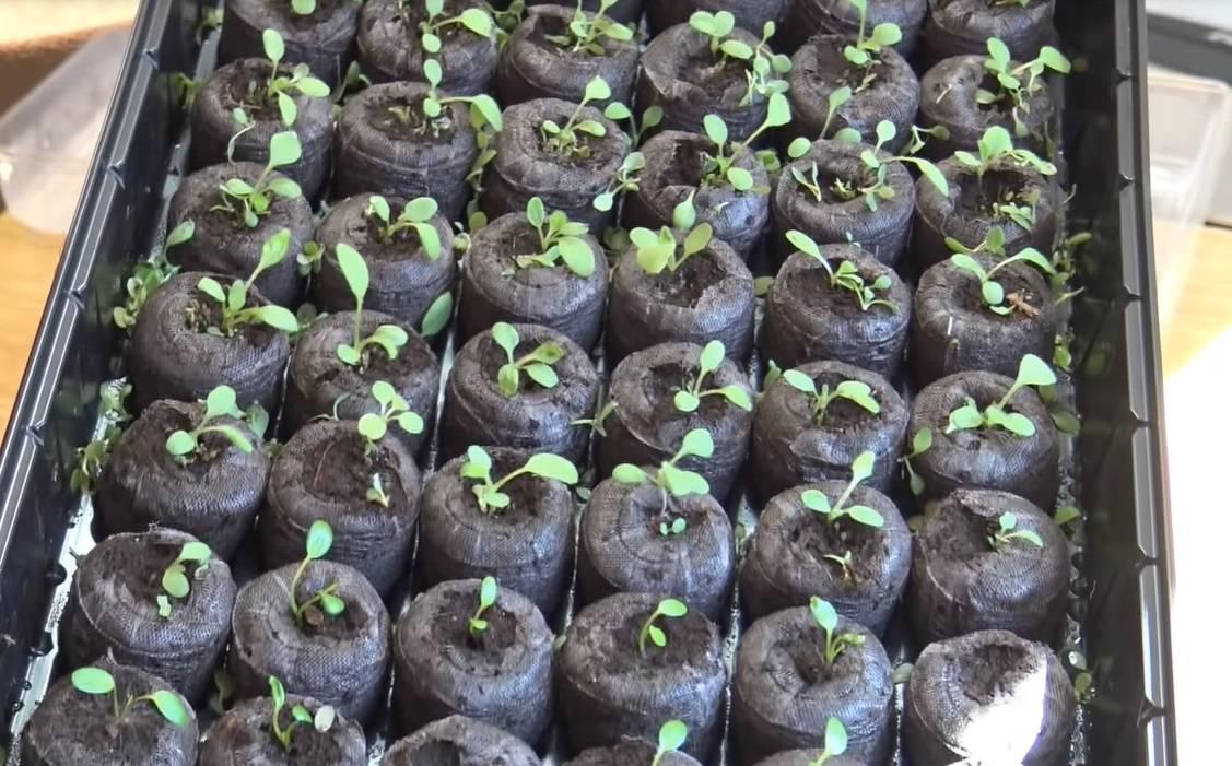 Выращивание рассады помидоров в торфяных таблетках (горшочках)