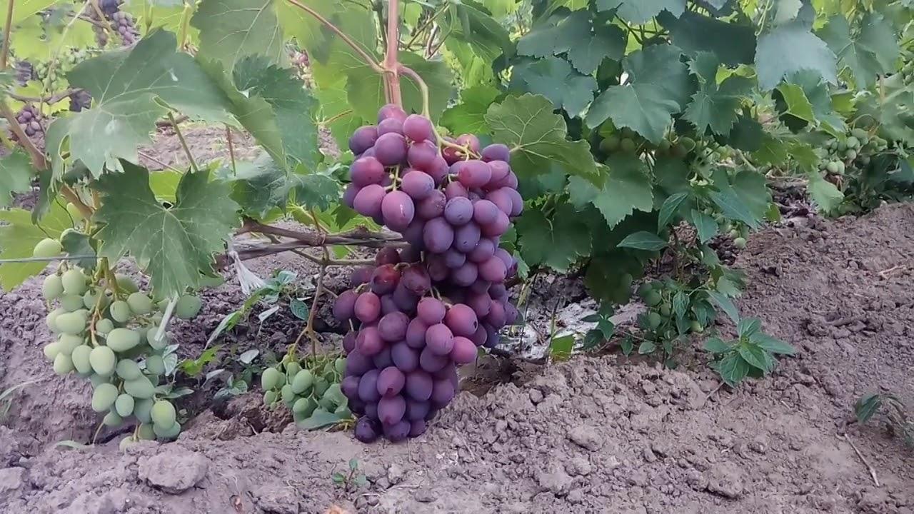 Как получить урожай винограда в год посадки
