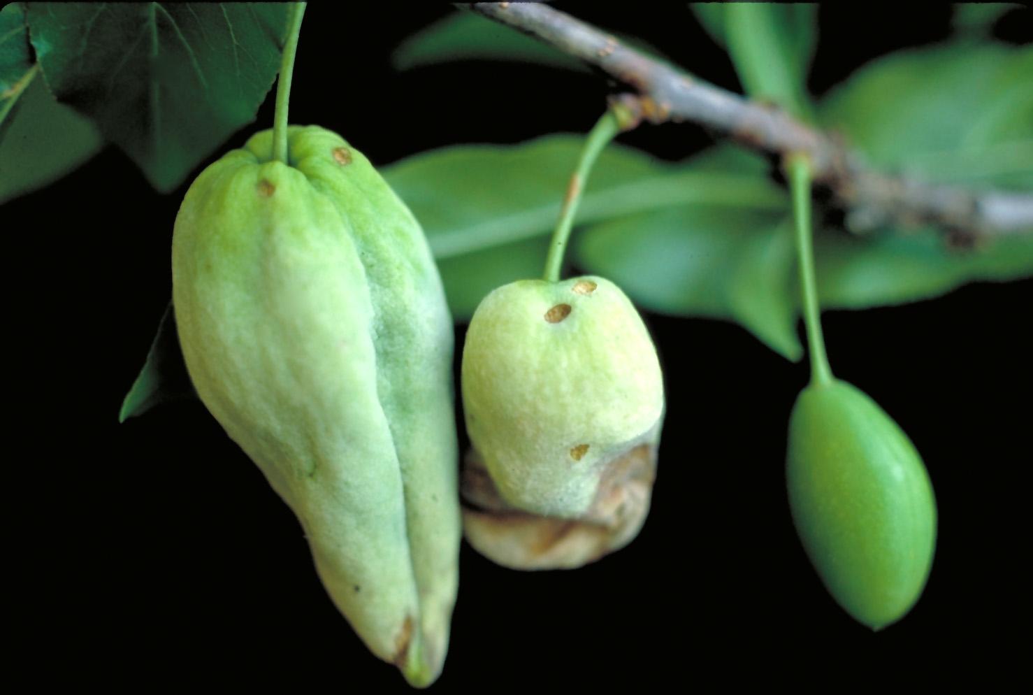 Почему осыпается еще зеленый абрикос