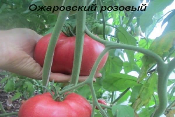 Дипломант на вашем столе — томат «малиновый рай» : описание сорта и особенности выращивания