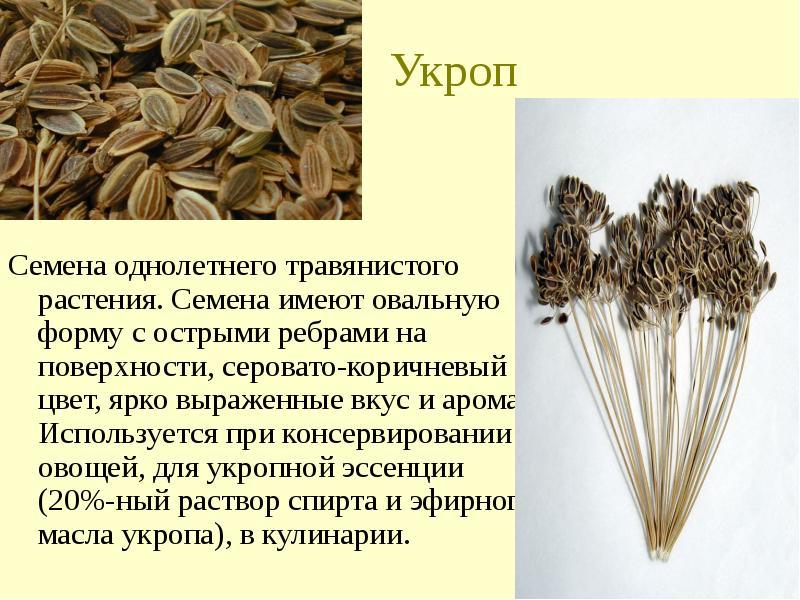 Семена укропа — полезные свойства и применение. как заваривать семена укропа