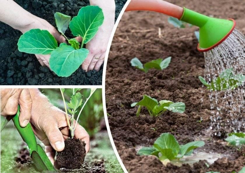 Как посадить сливу весной: подготовка к посадке ошибки, пошаговая инструкция, уход за деревом и сбор плодов