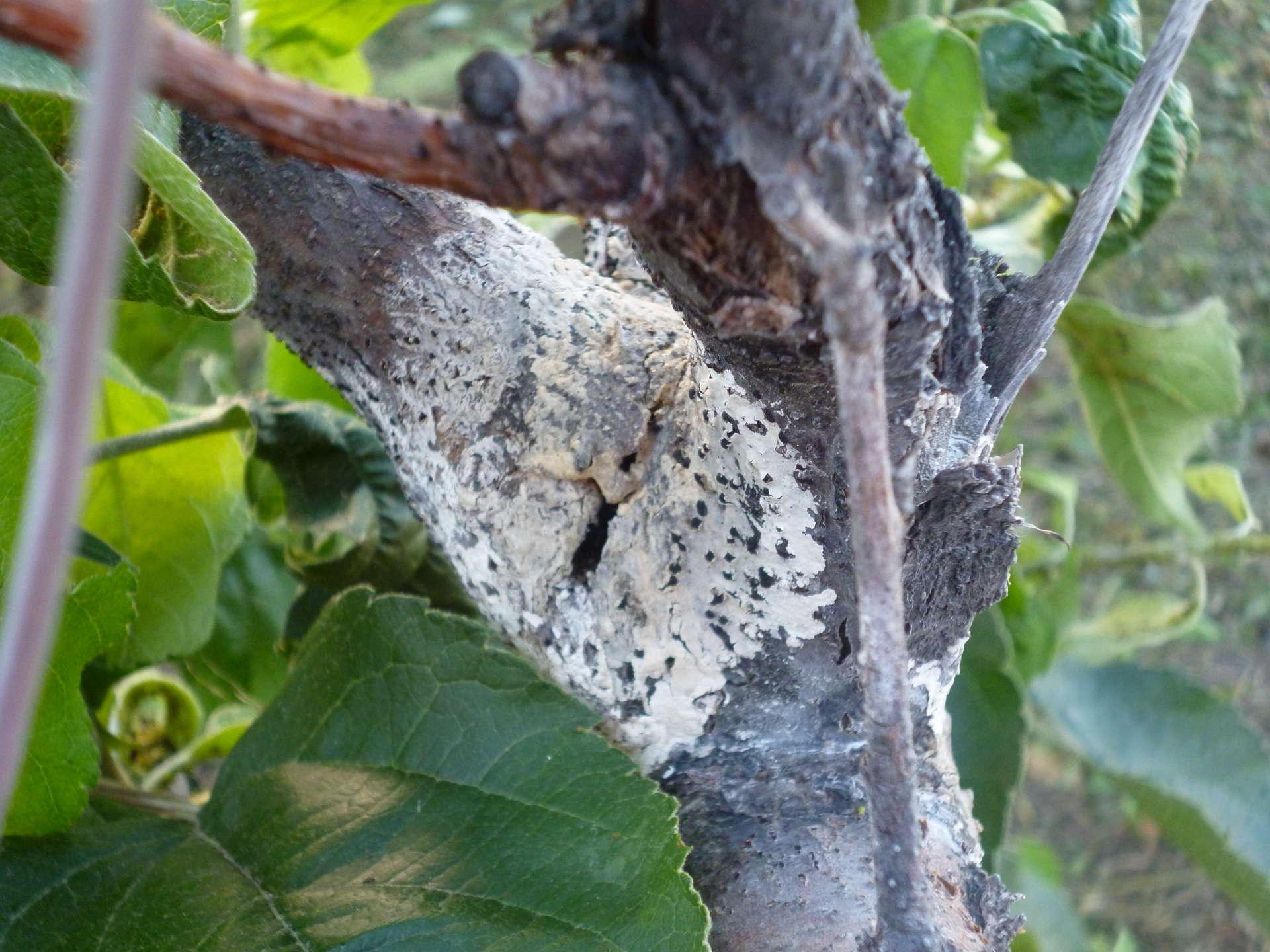 Болезни и вредители абрикосовых деревьев
