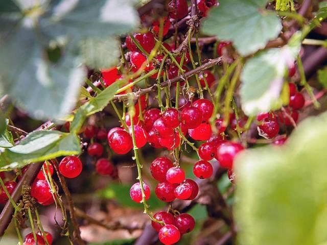 Красная смородина мармеладница описание сорта фото отзывы - скороспел