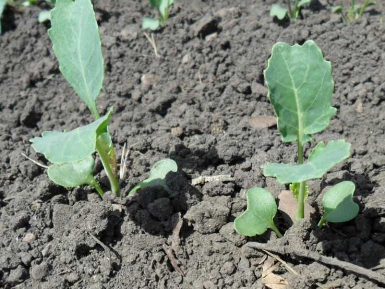 Савойская капуста: от выращивания рассады до сбора урожая
