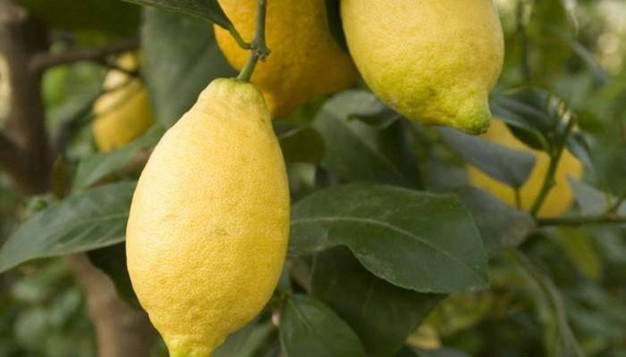 Лимон лунарио: описание сорта, фото лимон лунарио: описание сорта, фото