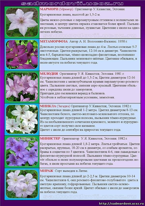 Виды и сорта клематиса (74 фото): описание мелкоцветкового белого, жгучего и других видов клематисов. «белое облако» и «аленушка», «асао» и другие сорта
