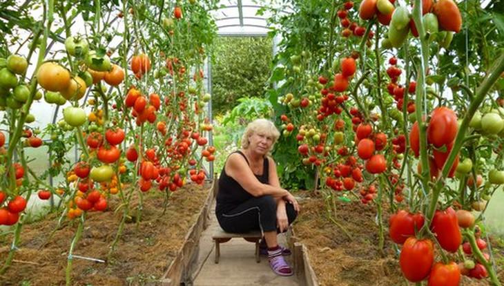 Помидоры в теплице из поликарбоната: посадка и уход, правильная технология выращивания томатов, как получить ранний урожай, а также советы и секреты высокой урожайности, фото-материалы русский фермер