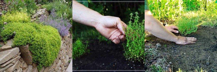 Чабрец выращивание из семян и особенности ухода, разведение