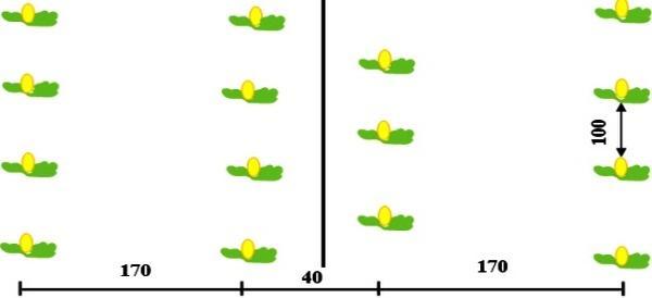 Выращивание арбуза и дыни в теплице из поликарбоната: посадка и уход