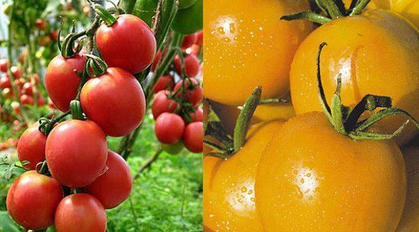 Суперранние помидоры для теплиц из поликарбоната. лучшие сорта