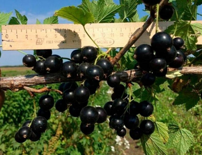 Черная смородина пигмей: описание сорта с характеристикой и отзывами, особенности посадки и выращивания и ухода, фото