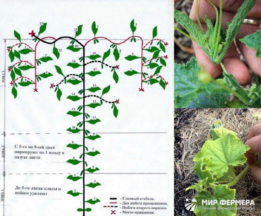 Выращивание огурцов в теплице из поликарбоната: пошаговое руководство