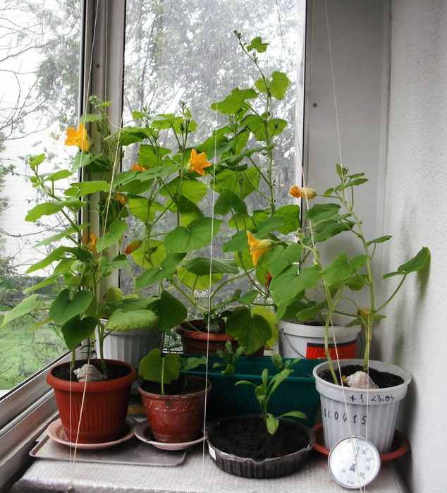 Горох на балконе: как посадить и вырастить в домашних условиях