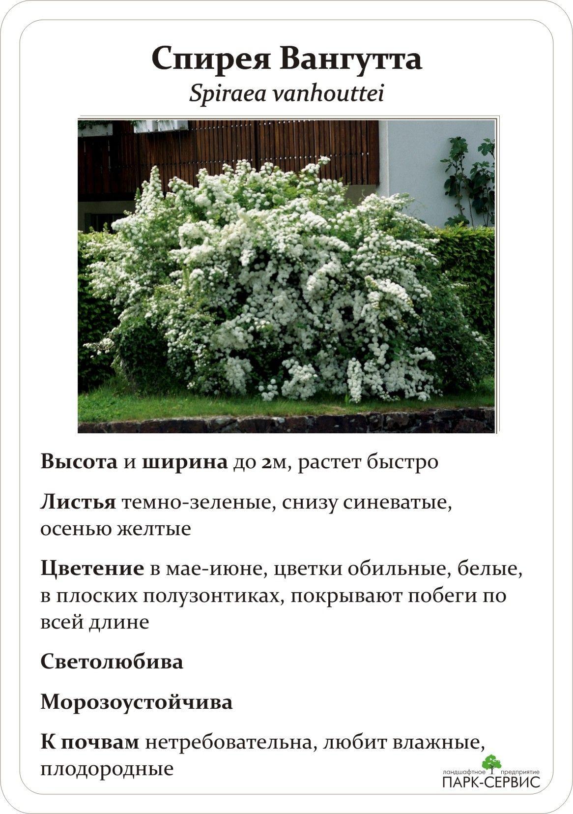 Спирея билларда (39 фото): описание spiraea billardii, посадка и уход, применение в ландшафтном дизайне, обрезка кустарника и сорта