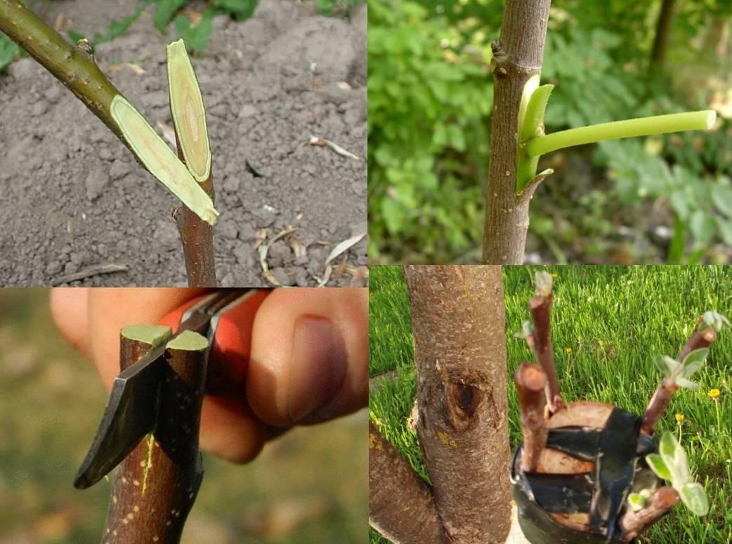 Прививка черешни: достоинства и недостатки, как, когда и на какое дерево можно прививать черешню, схема, фото