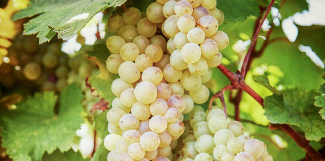 Виноград сорта ркацители - характеристики и свойства