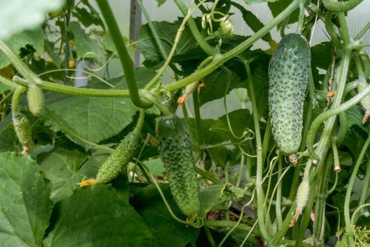 Как правильно вырастить огурцы в открытом грунте и добиться высокой урожайности?