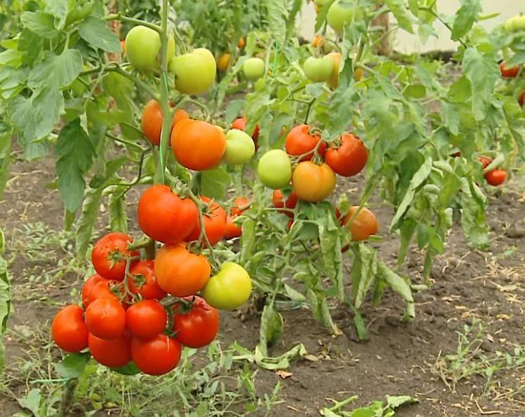 Крупноплодный и раннеспелый гибрид для универсального применения — томат «стрега f1»