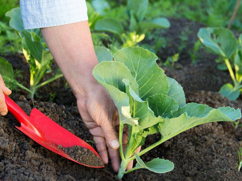 Подкормка капусты в открытом грунте для роста и формирования кочана