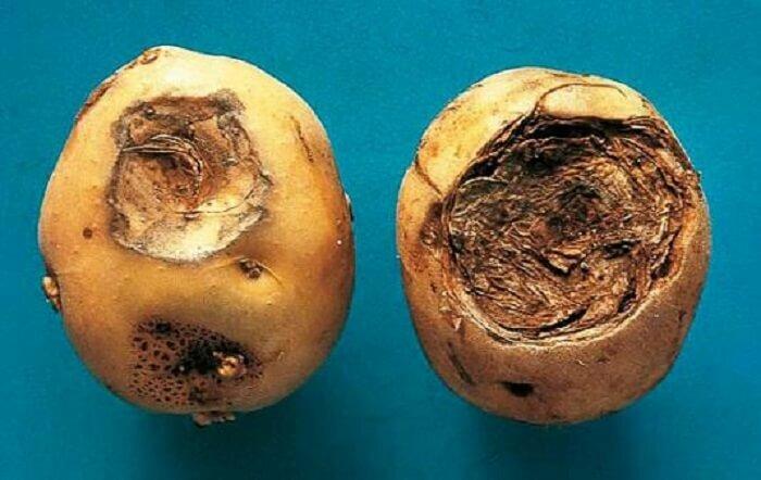 Гниль корневая фузариозная злаковых культур | справочник пестициды.ru