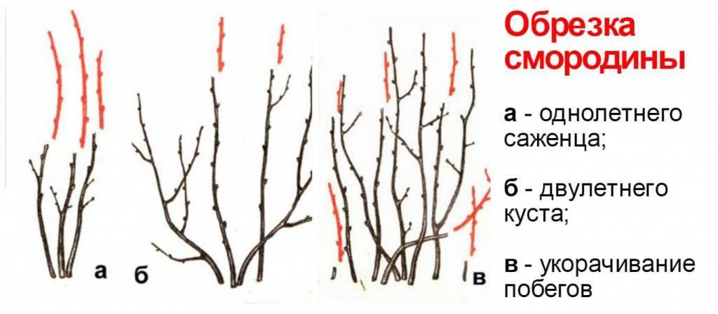 Правила обрезки крыжовника весной и осенью