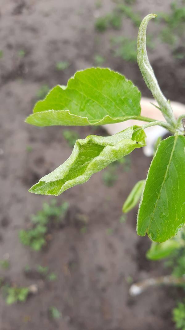 4 причины, почему скручиваются листья на плодовых деревьях и как с этим бороться