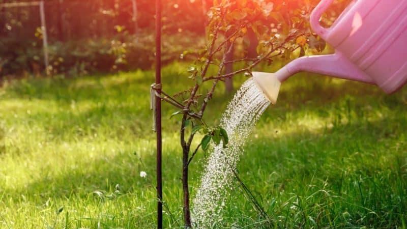 Нужно ли и как правильно поливать яблоню летом, нормы и частота