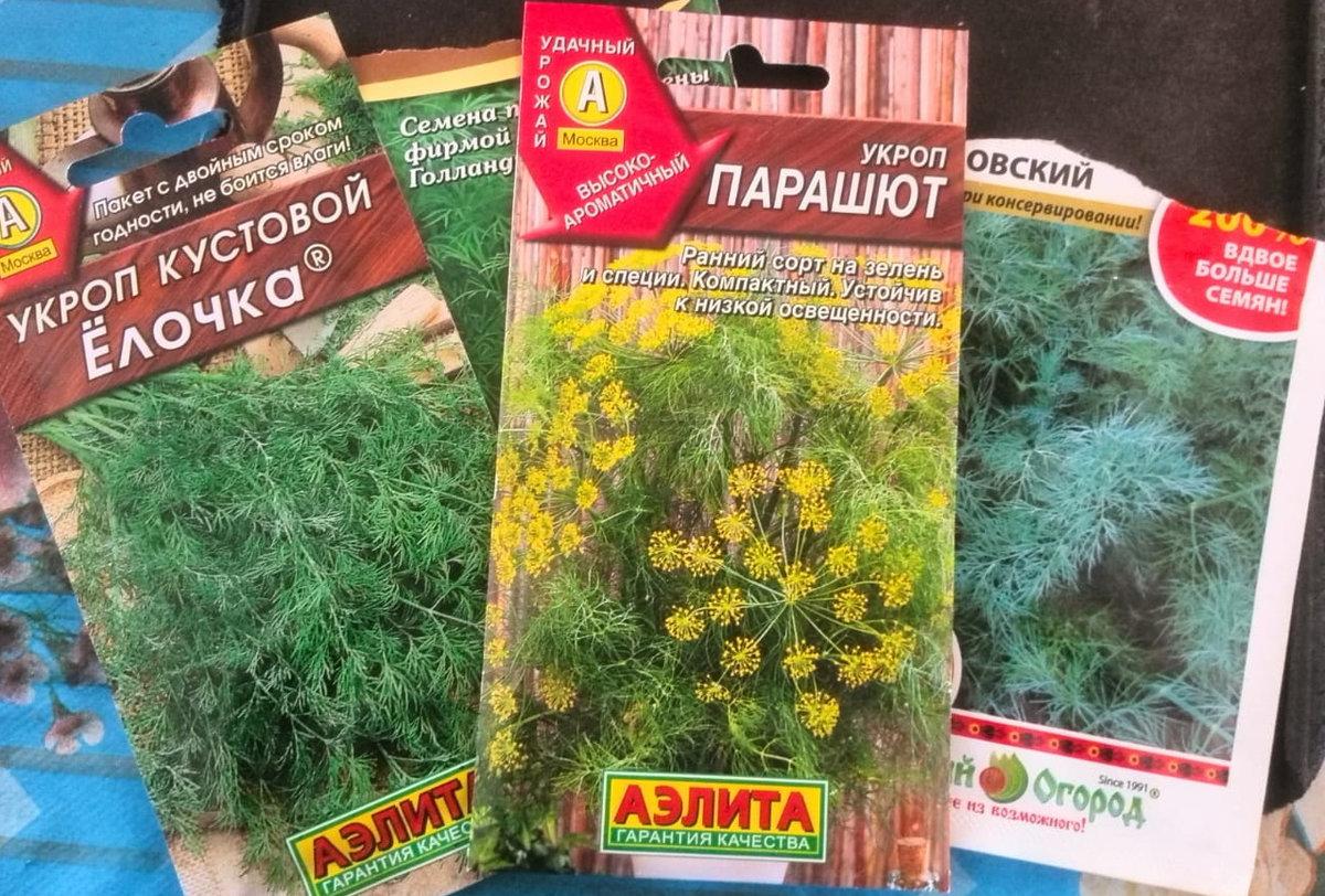Выращивание укропа в теплице: как правильно посадить и вырастить, а также возможность получения урожая из парника зимой русский фермер