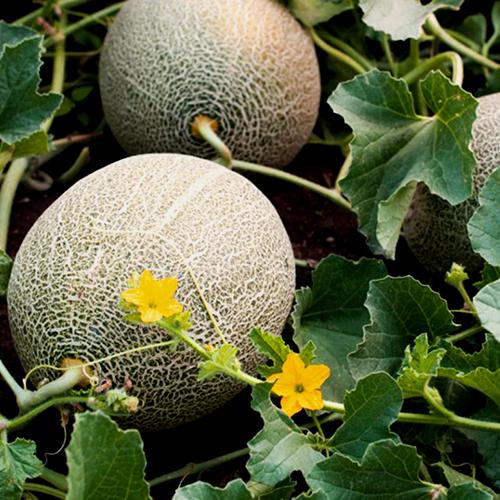Дыня на своем участке: посев, выращивание и пересадка в открытый грунт